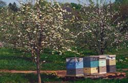 Pollenating Apple Orchards